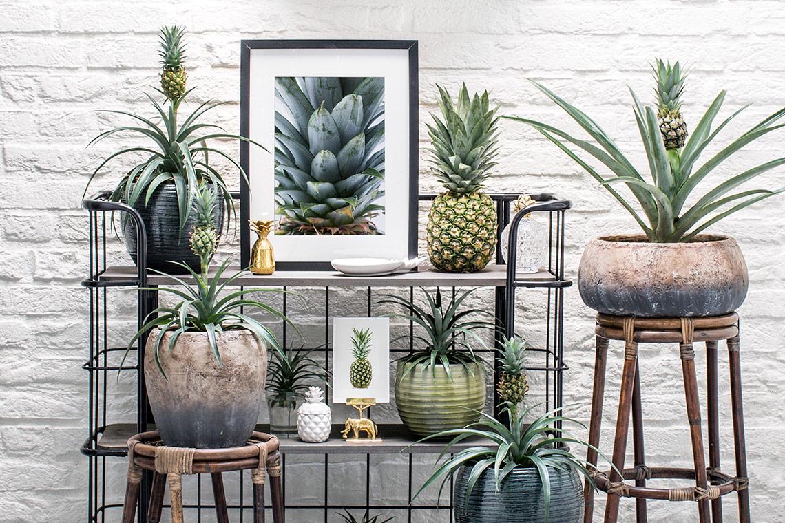ananas_kweken