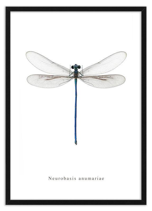 Poster waterjuffer Neurobasis anumariae