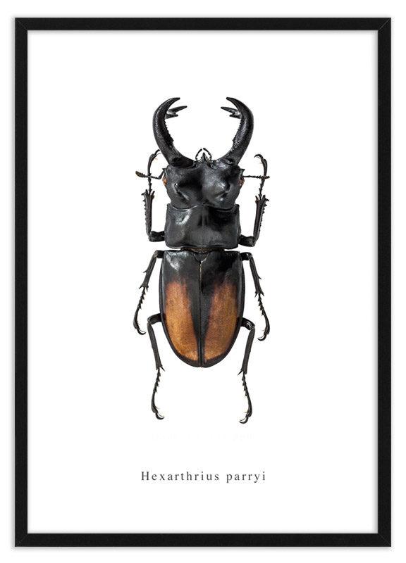 Poster vliegend hert Hexarthrius parryi