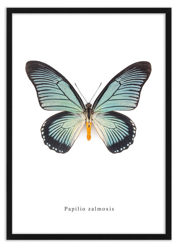 Poster vlinder Papilio zalmoxis