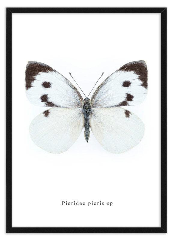 Poster koolwitje Pieridae pieris