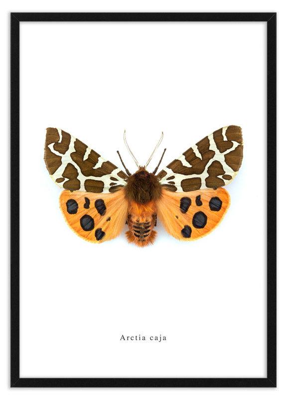 Poster nachtvlinder Arctia caja