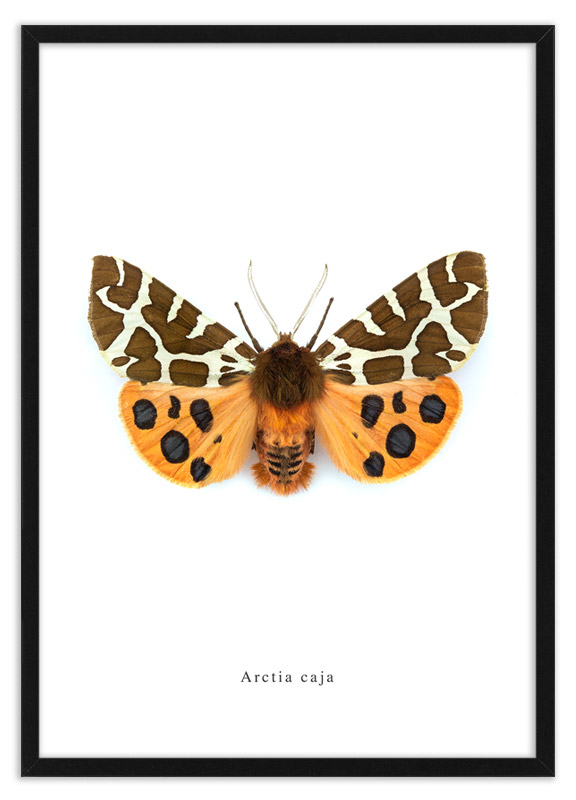 Nachtvlinder Arctia caja