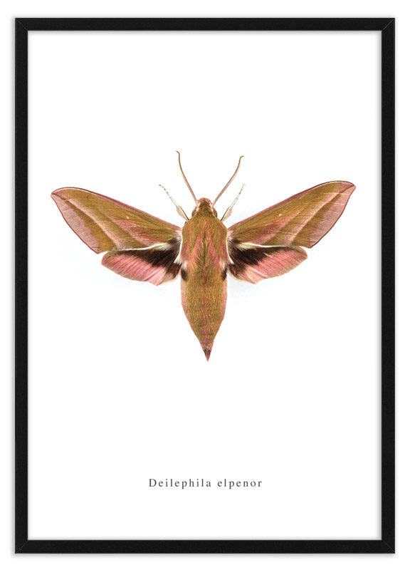 Poster nachtvlinder Deilephila elpenor