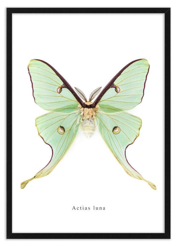 Poster nachtvlinder Actias luna