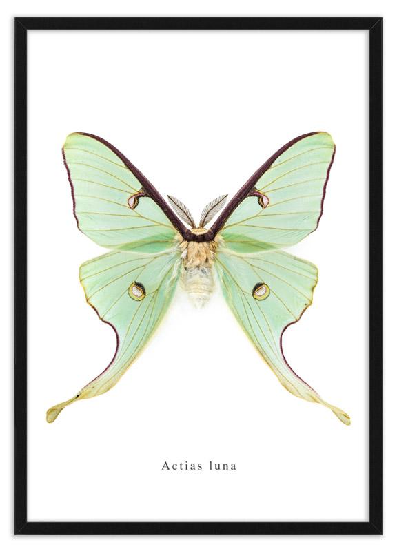 Nachtvlinder Actias luna
