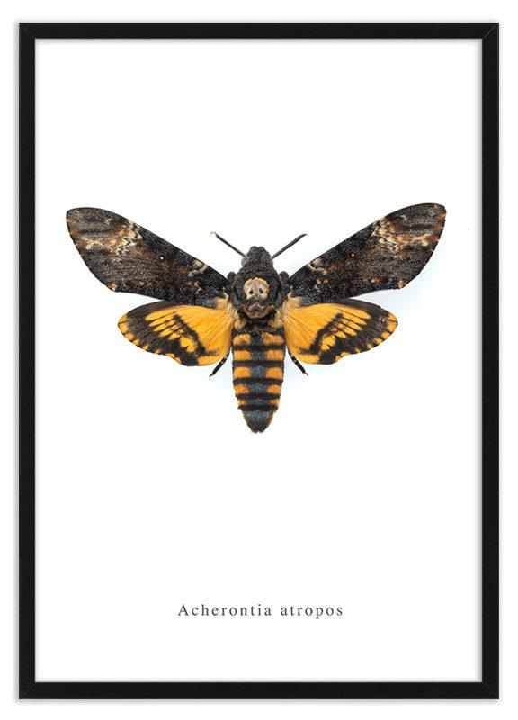 Poster doodshoofdvlinder Acherontia atropos