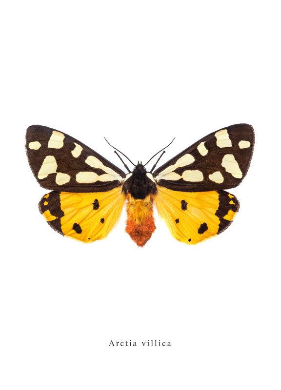 Arctia villica print