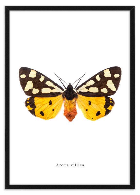 Arctia villica print lijst