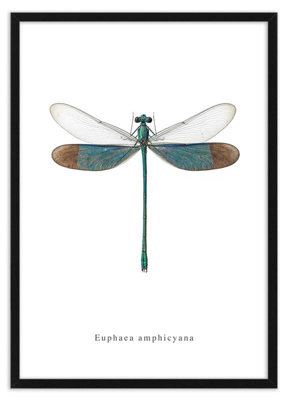 poster waterjuffer Euphaea amphicyana