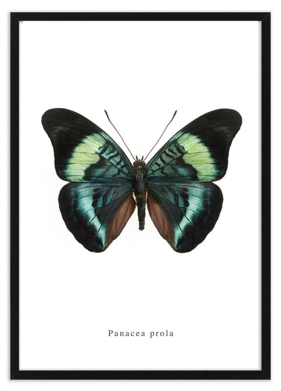 Panacea prola vlinder