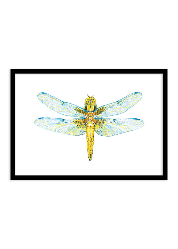 Platbuik libelle Libellula depressa