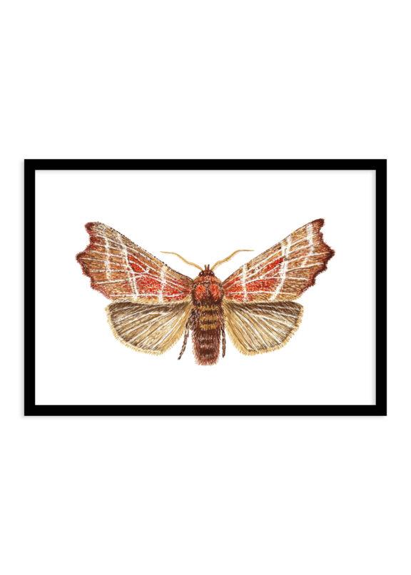 Roesje nachtvlinder